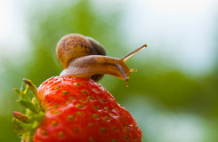 Garden snail creeps on a berry of a ripe strawberry. Stock Photos