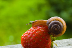 Garden snail creeps on a berry of a ripe strawberry. Royalty Free Stock Photo