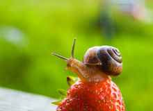Garden snail creeps on a berry of a ripe strawberry. Royalty Free Stock Images