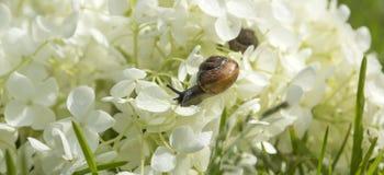 Garden snail creeps forward on a big white flower Stock Image
