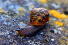 Garden snail on a dry stone wall Stock Photo
