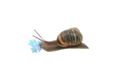 Garden snail exploring blue forget-me-not flowers Stock Images