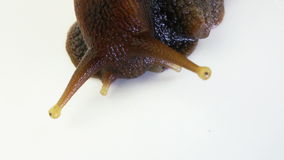 Garden Snail stock video