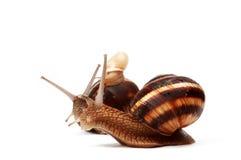 Garden snail family Stock Images