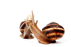 Garden snail family. Two  funny  garden snails and a little snail ,representing a family Stock Photo