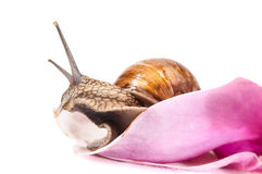 Garden snail in flower Royalty Free Stock Photography