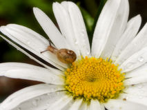 Garden Snail on flower in the rain. A close-up view of a small garden snail on a white daisy in the rain Stock Photography