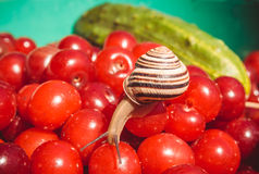 Garden snail and a fresh crop of cherries Stock Images