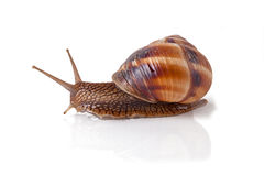 Garden Snail. In front of white background Stock Photo