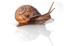 Garden Snail. In front of white background Stock Photography