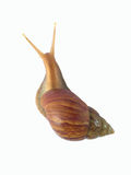 Garden Snail. In front of a white background Royalty Free Stock Photos