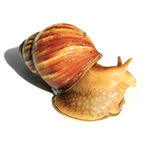 Garden snail on the glass Stock Image