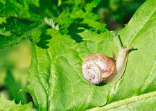 Garden snail on a green leaf Stock Images