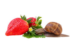 Garden Snail Green Leaf with Red Strawberry Royalty Free Stock Photo