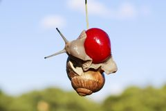 Garden snail hanging on ripe red berry cherries in the summer a Stock Photo