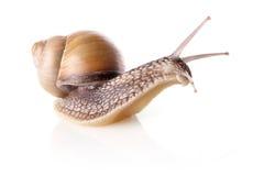 Garden snail (Helix aspersa) Stock Image