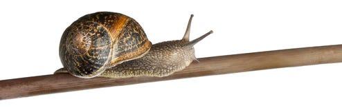 Garden Snail, Helix aspersa Royalty Free Stock Photos