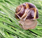 Garden snail (Helix aspersa) Royalty Free Stock Photo