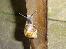 Garden Snail - Helix aspersa Royalty Free Stock Image
