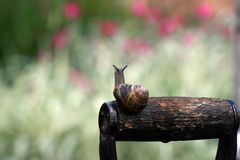 Garden snail (Helix aspersa) royalty free stock photos