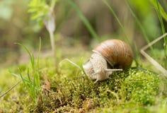 Garden snail Helix aspersa Stock Images