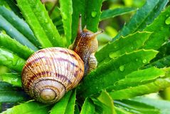Free Garden Snail Helix Aspersa, Gliding On The Wet Plant In The Garden. Macro Close-up Blurred Green Background. Short Depth Of Focu Stock Photography - 107379362