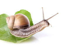 Garden snail (Helix aspersa) on green leaf Stock Images