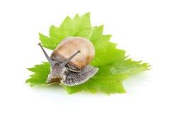 Garden snail (Helix aspersa) on green leaf Stock Photography