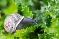 Garden Snail - Helix aspersa Royalty Free Stock Images