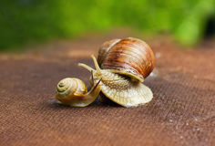 Garden snail (Helix aspersa) with its baby Stock Photo