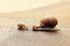 Garden snail (Helix aspersa) with its baby Stock Photos