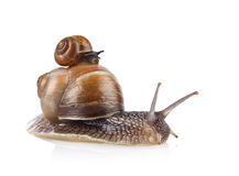 Garden snail (Helix aspersa) taxi Royalty Free Stock Images