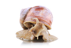 Garden snail Helix Aspersa Royalty Free Stock Photo