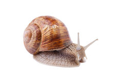 Garden Snail - Helix pomatia Royalty Free Stock Photo