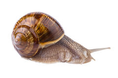 Garden Snail (Helix pomatia) Stock Photography