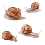 Garden snail Helix pomatia collection Royalty Free Stock Photos