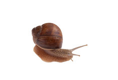 Garden Snail Isolated on White. Royalty Free Stock Photography