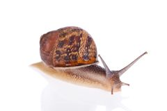 Garden snail isolated on white background Royalty Free Stock Images