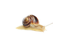 Garden snail isolated on white Royalty Free Stock Image