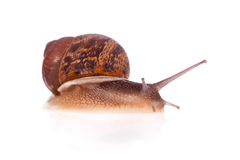 Garden snail isolated Stock Images