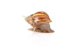 Garden snail isolated on white background. Stock Photography