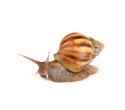 Garden snail isolated on white background. Stock Photos