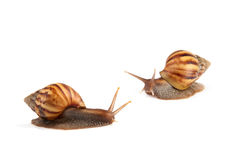 Garden snail isolated on white background. Stock Images