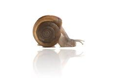 Garden snail isolated on white background,snail close up,Ubonrat. Chathani,Thailand Stock Photos