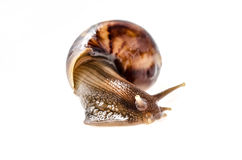 Garden snail isolated on white. : Clipping path Stock Images
