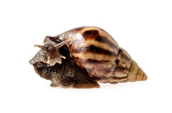 Garden snail isolated on white. : Clipping path Royalty Free Stock Image