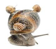 Garden snail with its babies on its shell Stock Images