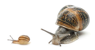 Garden snail with its baby in front of white. Background Royalty Free Stock Photo