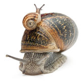 Garden snail with its baby on its shell Stock Photography