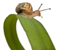 Garden snail on leaf, Helix aspersa Royalty Free Stock Photography